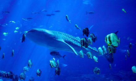 ICO-Studie: Wale verdrängen kleine Fische