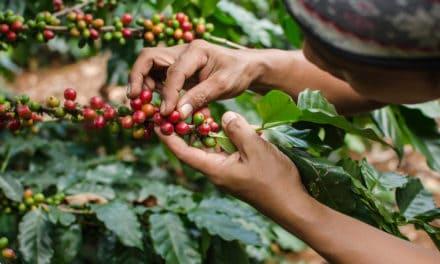 Uganda: Fairer Kaffee dank Blockchain-Software?