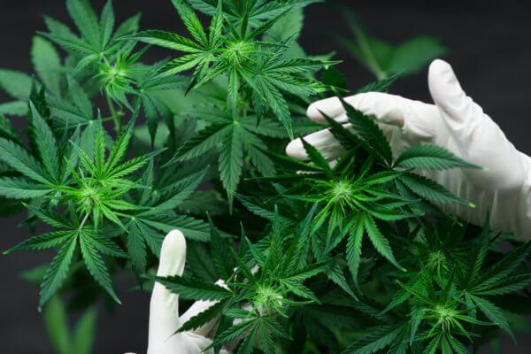 Cannabis-Industrie: US-Bundesstaat Vermont kontrolliert Cannabis-Qualität per Blockchain