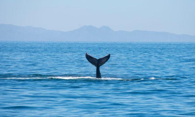 Wale spülen Bitcoin (BTC) nach oben
